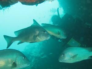 イスズミ礁 コロダイ